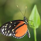 Tiger Longwing by Maria Gaellman