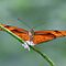 Flame Butterfly, also known as Julia Butterfly by Maria Gaellman