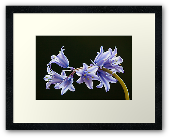 Bluebell flowers by Neil Clarke