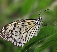 Malabar Tree Nymph Butterfly by Maria Gaellman