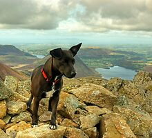 Tarn the Terrier.... on High Stile by VoluntaryRanger