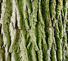 Tree Bark (Poplar Tree) by M. van Oostrum