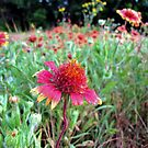 The Wrinkles in Life - Indian Blanket Flower Field by aprilann