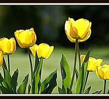 Luminescent Yellow Tulips by Shonda Hogan
