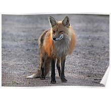 First Red Fox of the Season Poster