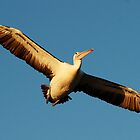 Pelican in flight by Neville Gafen