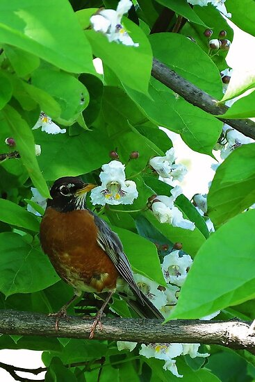 Male Robin enjoying the Catalpa Tree Blossoms by Ron Russell