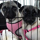 Pugs In Jail! by mysticrivers