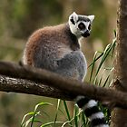 Ring-Tailed Lemur by Sea-Change