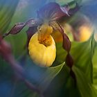 Lady Slipper hiding by Chris Kiez
