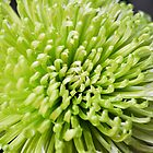 Chrysanthemum by GeorgeGrivas