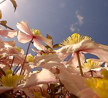 Looking Up Through Clematis To A Blue Sky .. by Mike  Waldron