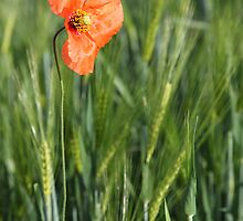 Poppy 2012 10 by Falko Follert