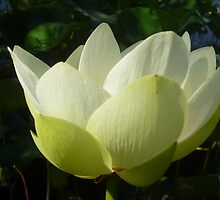 Profile of Lotus in Full Bloom by Anthea  Slade