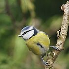 Blue Tit, Frimley by Craig Denford