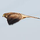 Kestrel, Papercourt Meadows, Send, Woking by Craig Denford