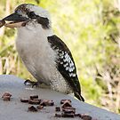 kookaburra by Anne Scantlebury