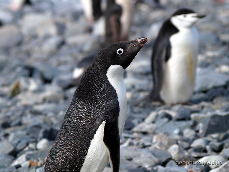 Adelie penguin stare by geophotographic