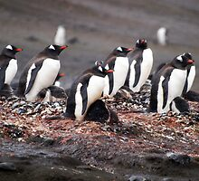 Nesting Gentoo penguins by geophotographic