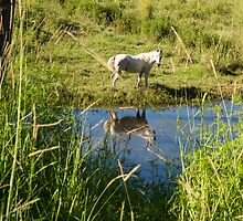 white horse reflection by Anne Scantlebury