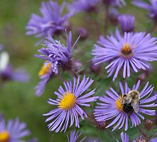 Bumblebee and Aster by lindophotograph