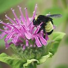 Bee Balm and Bumble by Barbara Muller