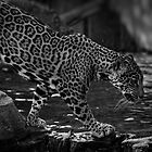 Jaguar by Dana Horne