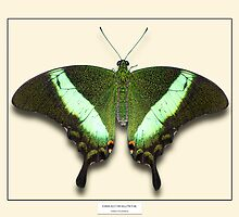 Emerald Swallowtail Butterfly - Specimen style print by Mark Podger