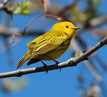 Male Yellow Warbler by hummingbirds