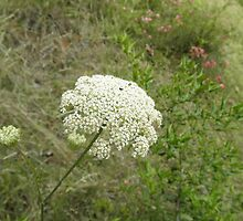 queen anne's lace by ack1128