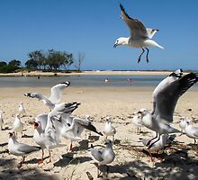 competing seagulls by Anne Scantlebury