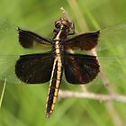 Widow Skimmer Dragonfly by freevette