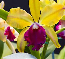 Yellow pink Cattleya orchid  by papillonphoto