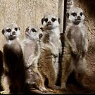 Baby Meerkats With Attitude by Margaret Saheed