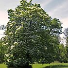 Catalpa Tree Portrait by Ron Russell