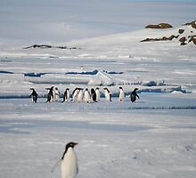 Browning Peninsula Adventure Penguins - Antarctica by cactus82