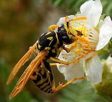 Paper Wasp by Betsy  Seeton