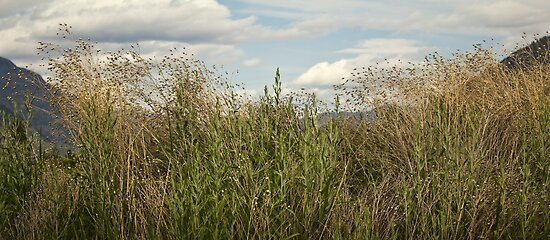 grasses by sbc7