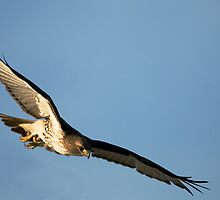 Red Tailed Hawks Swooping down on a Mouse by Bryan Shane
