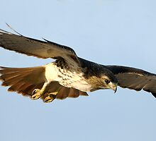 Red Tailed Hawk Swooping  by Bryan Shane
