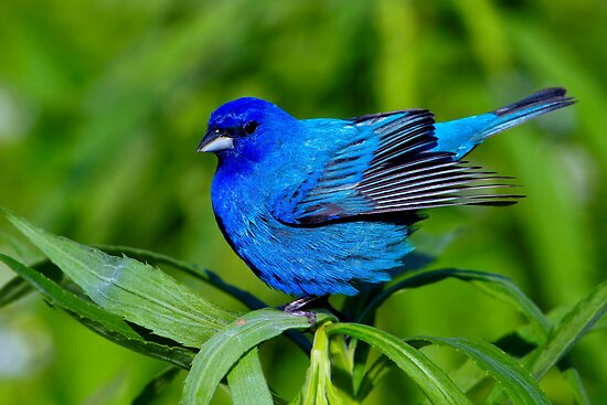 Indigo Bunting Ready For Take Off by John Absher