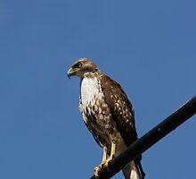 Watchful Hawk by Lynn Starner