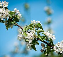 Apple Blossom 2 by Jacinthe Brault