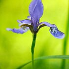 Blue Japanese iris by Lois  Bryan
