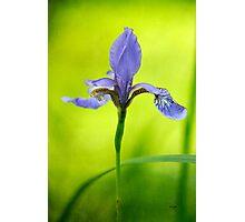 Blue Japanese iris Photographic Print