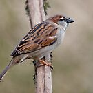 House Sparrow by Margaret S Sweeny