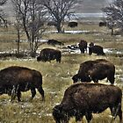 Grazing Buffalo in the Snow by NinthPlanet