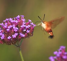 Hummingbird Moth by Melva Vivian