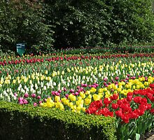 Tulips of Many Colours - Keukenhof Gardens by kathrynsgallery