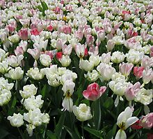 Pretty Pink and White Tulips - Keukenhof Gardens by MidnightMelody